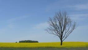 Ensamt kalt tr?d i ett gult f?lt mot himlen arkivfilmer