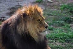 Ensamt lejon Arkivfoto