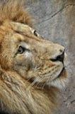 Ensamt lejon på zoo Royaltyfri Foto
