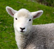 Ensamt litet lamm Arkivfoto