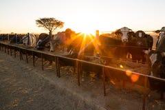 Ensamt Namib träd med nötkreatur Fotografering för Bildbyråer