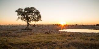 Ensamt Namib träd under senset Royaltyfri Foto
