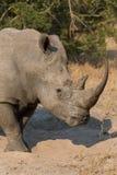 Ensamt noshörninganseende på öppet område som söker efter säkerhet från tjuvskytt Fotografering för Bildbyråer