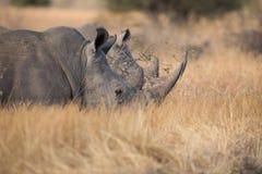 Ensamt noshörninganseende på öppet område som söker efter säkerhet från tjuvskytt Arkivbild