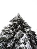 Ensamt och fryst sörja trädet royaltyfri foto