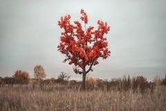 Ensamt rött träd mot en molnig himmel arkivbild