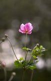 ensamt rosigt för blomma Royaltyfria Bilder