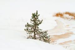 Ensamt sörja-träd Fotografering för Bildbyråer