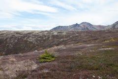 Ensamt sörja trädet i alaskabo berg Royaltyfria Foton
