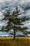 Ensamt sörja trädet i fält på bakgrund av stormigt Royaltyfri Fotografi