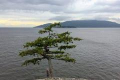 Ensamt sörja trädet på en klippa på bakgrunden av en stormig himmel över havet royaltyfria bilder