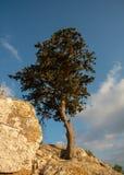 Ensamt sörja trädet på kanten av en stenig yttersida royaltyfria bilder