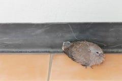 Ensamt sammanträde för ung fågel på belagt med tegel golv Arkivfoton