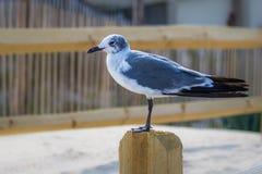 Ensamt seagullanseende på en staketstolpe Royaltyfri Bild
