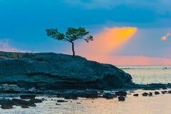 Ensamt sörja trädet på en stenig kust Arkivbild