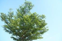 Ensamt stort träd Arkivfoton