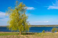 Ensamt tårpilträd mot blå molnfri himmel på en Dnepr flodstrand arkivfoton