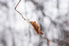 Ensamt torrt blad som svänger i vinden i vinter royaltyfri bild