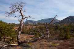 Ensamt torrt träd i bergen arkivfoto