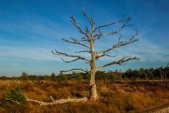 Ensamt torrt träd med fördelning av kala filialer i höst mot den blåa himlen i en europeisk skog royaltyfria foton
