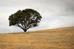 Ensamt träd Royaltyfri Fotografi
