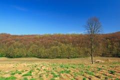 Ensamt träd efter skogsavverkning Arkivfoton
