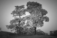Ensamt träd för abstrakt svartvit bild i golfbanafält på bygd Arkivfoto