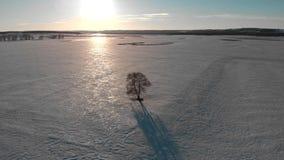 Ensamt träd för flyg- sikt på solnedgången, träd i vinterlandskap stock video