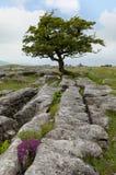 Ensamt träd för Yorkshire dalar Arkivfoton