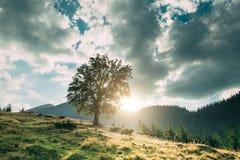 Ensamt träd i berg på solnedgången Royaltyfri Bild