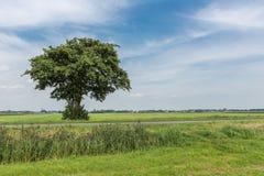 Ensamt träd i brett holländskt landskap Royaltyfri Fotografi
