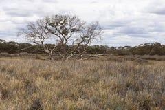 Ensamt träd i den Australien öknen, nordligt territorium royaltyfria bilder