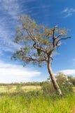 Ensamt träd i den australiska efterrätten Arkivbilder