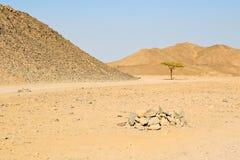 Ensamt träd i den egyptiska öknen Royaltyfria Foton