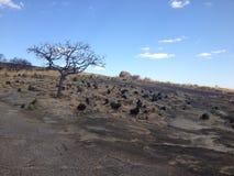 Ensamt träd i den Matobo nationalparken, Zimbabwe Arkivbild