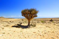 Ensamt träd i den omani öknen Fotografering för Bildbyråer