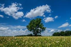 Ensamt träd i ett fält av maskrosor Arkivbilder