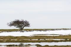 Ensamt träd i ett landskap med smältande snö Royaltyfri Foto