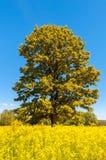 Ensamt träd i ett ljust sommarfält royaltyfria bilder