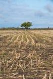 Ensamt träd i ett skördat havrefält Arkivfoto
