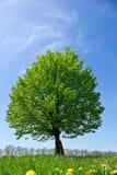 Ensamt träd i fältet, på bakgrunden av den klara blåa himlen Royaltyfria Foton
