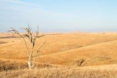 Ensamt träd i Flint Hills av Kansas Royaltyfria Bilder