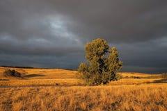 Ensamt träd i guld- ljus Arkivbilder