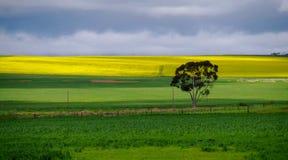 Ensamt träd i landskap för äng för gräsplan- och gulingcanolafält Royaltyfri Foto