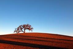 Ensamt träd i landskap för Paso Robles vinland Royaltyfri Fotografi