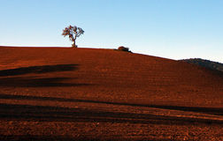 Ensamt träd i landskap för Paso Robles vinland Arkivbilder