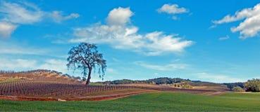 Ensamt träd i landskap för Paso Robles vinland Arkivbild