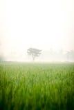 Ensamt träd i risfält royaltyfria bilder