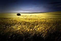 Ensamt träd i veteskördarna, Puglia, Italien arkivbild