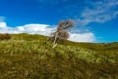 Ensamt träd i vinden på Norderney i Tyskland Royaltyfri Bild